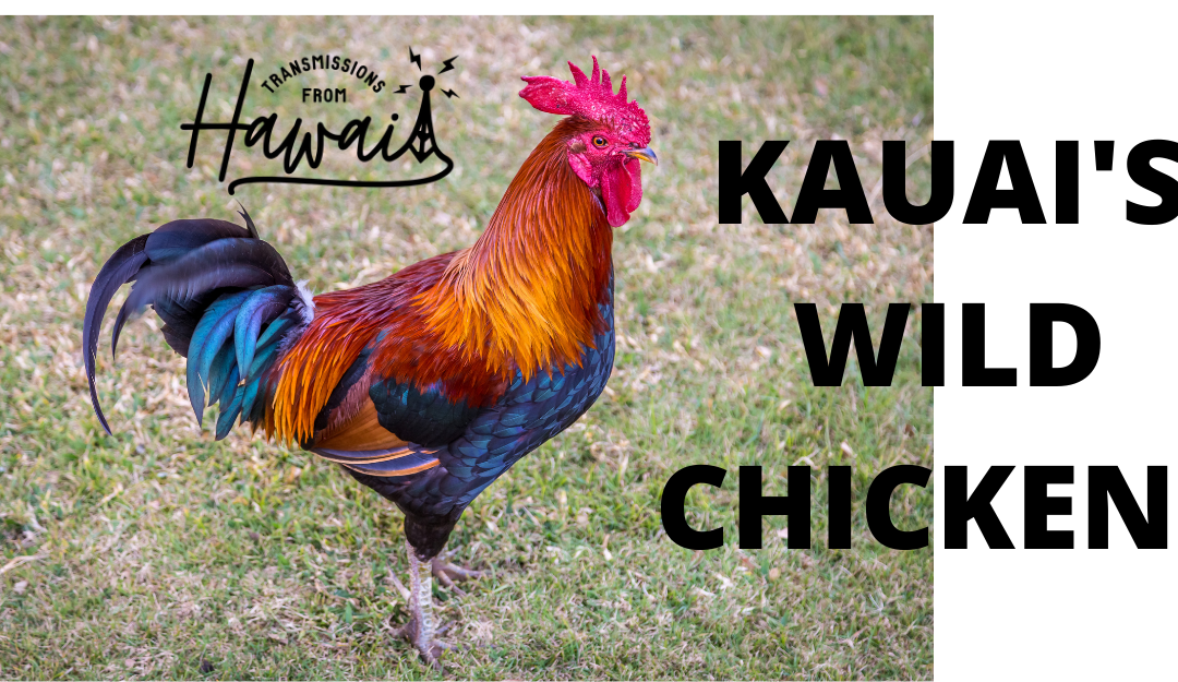 Kauai's Wild Chickens: Hilarious, Annoying and Totally Fascinating | Transmissions from Hawaii 01