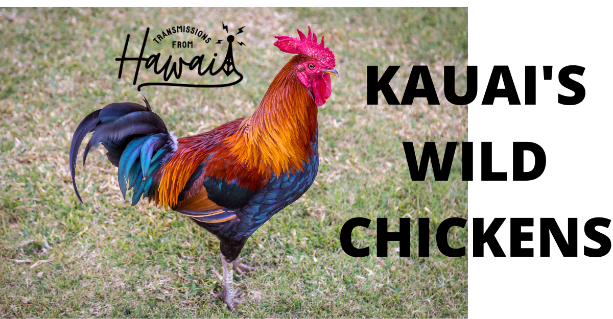"""A colorful Kauai rooster appears standing. On the right there is large text saying """"Kauai's Wild Chickens."""" On the upper left is the logo of the Transmissions from Hawaii podcast."""
